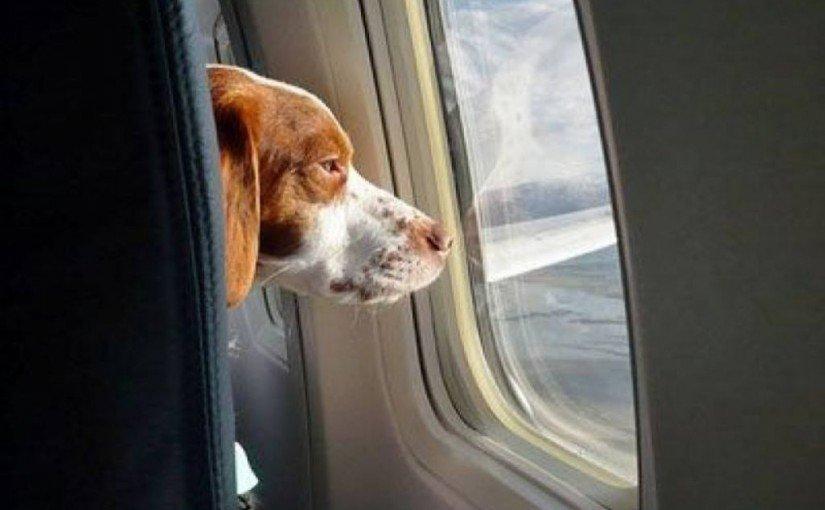 cum sa calatoresti cu animalul de companie in avion